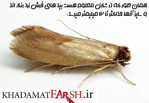 تصویر ، حشره بید فرش را به صورت کامل نشان میدهد.